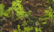 Semillas de Lechugas Baby Leaf y Mezclas
