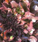 Semillas de Lechugas Hoja de Roble Roja