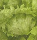 Semillas de Lechugas Batavia Verde