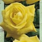 Jules Troch Plantas de Jardín y Rosales