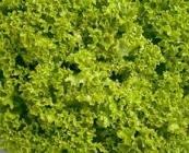 Semillas de Lechugas Lollo Verde
