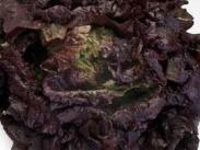 Semillas de Lechugas Batavia Roja