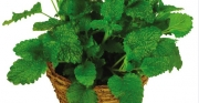 MELISA LEMON BALM