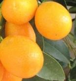 KUMQUAT (Arbusto) - 20