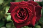 ROSAL EDITH PIAF ® Meiramboys