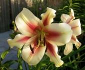 Liliums OT - Híbridos de Oriental x Trompeta