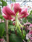 Liliums Longiflorum y Tiger - Speciosum