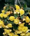 Rackboxes de Begonias