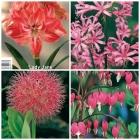 Amaryllis, Scadoxus, Nerines y Dicentras