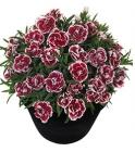 Claveles Dianthus