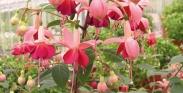 Fuchsias Híbridas