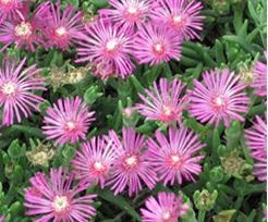 MESSEM ROSA LAMPRANTHUS (84 Plantas).