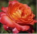 Rosales de Flor Grande Colección Clásicos