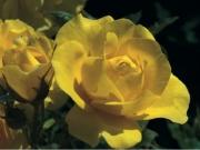 ROSAL CARTE D'OR ® - Meidresia