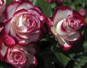 ROSAL JUBILÉ DU PRINCE DE MONACO ® - Meisponge
