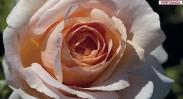 Rosales de Flor Romántica