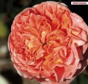 ROSAL RENE GOSCINNY® Meifrypon