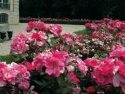ROSAL PINK KNOCK OUT ® - Meigadraz