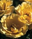 ROSAL TEQUILA ® GOLD - Meipojona