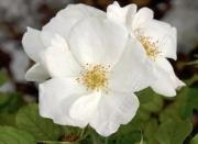 ROSAL WHITE KNOCK OUT ® - Radwhite