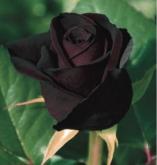 ROSAL BLACK BACCARA ® - Meidebenne