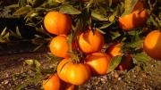 CLEMENTINA Hernandina - Cal. 5-6-7 (41 a 56 mm.) -...