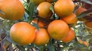 CLEMENTINA Hernandina - Cal. 2-3-4 (50 a 69 mm.) -...