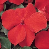 IMPATIENS SUPER ELFIN XP SCARLET