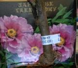 Peonías Arbóreas Japonesas