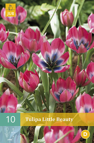 TULIPAN LITTLE BEAUTY