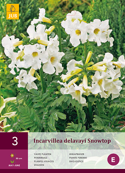 INCARVILLEA DELAVAYI SNOWTOP