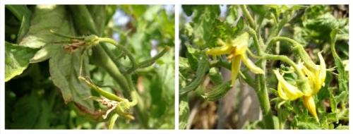 Cuajado del Tomate ¿Por qué se caen las flores?