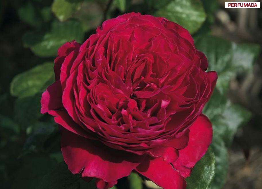 ROSAL ALAIN SOULCHON ® Meikarouz ( Pie Alto 100 cm.)