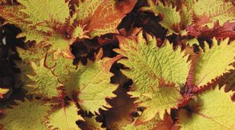 COLEUS SUNFIGHTER HENNA (84 Plantas).
