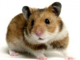 Pienso Hamsters