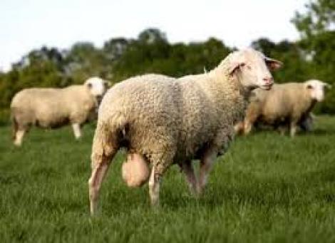 Pienso compuesto para ovejas. Saco 40 kg