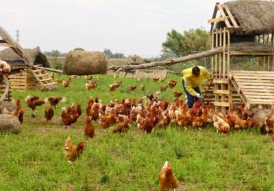 Granja libertad. Montar granja gallinas