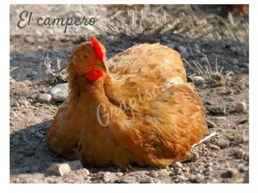 El Pollo Campero