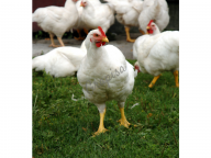 Pollo Blanco Grapisa