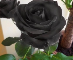 BLACK PRESERVED ROSE IN A BOX
