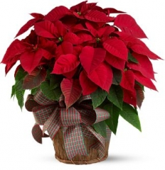 POINSETIA IN A  BASKET