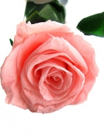 ETERNAL PINK ROSE IN A BOX