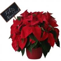 CHRISTMAS FLOWER - POINSETIA
