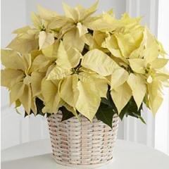 Pascua blanca planta navidad blanca
