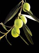 Investigadores espanoles estudian el aceite de oliva virgen extra para prevenir el lupus eritematoso.