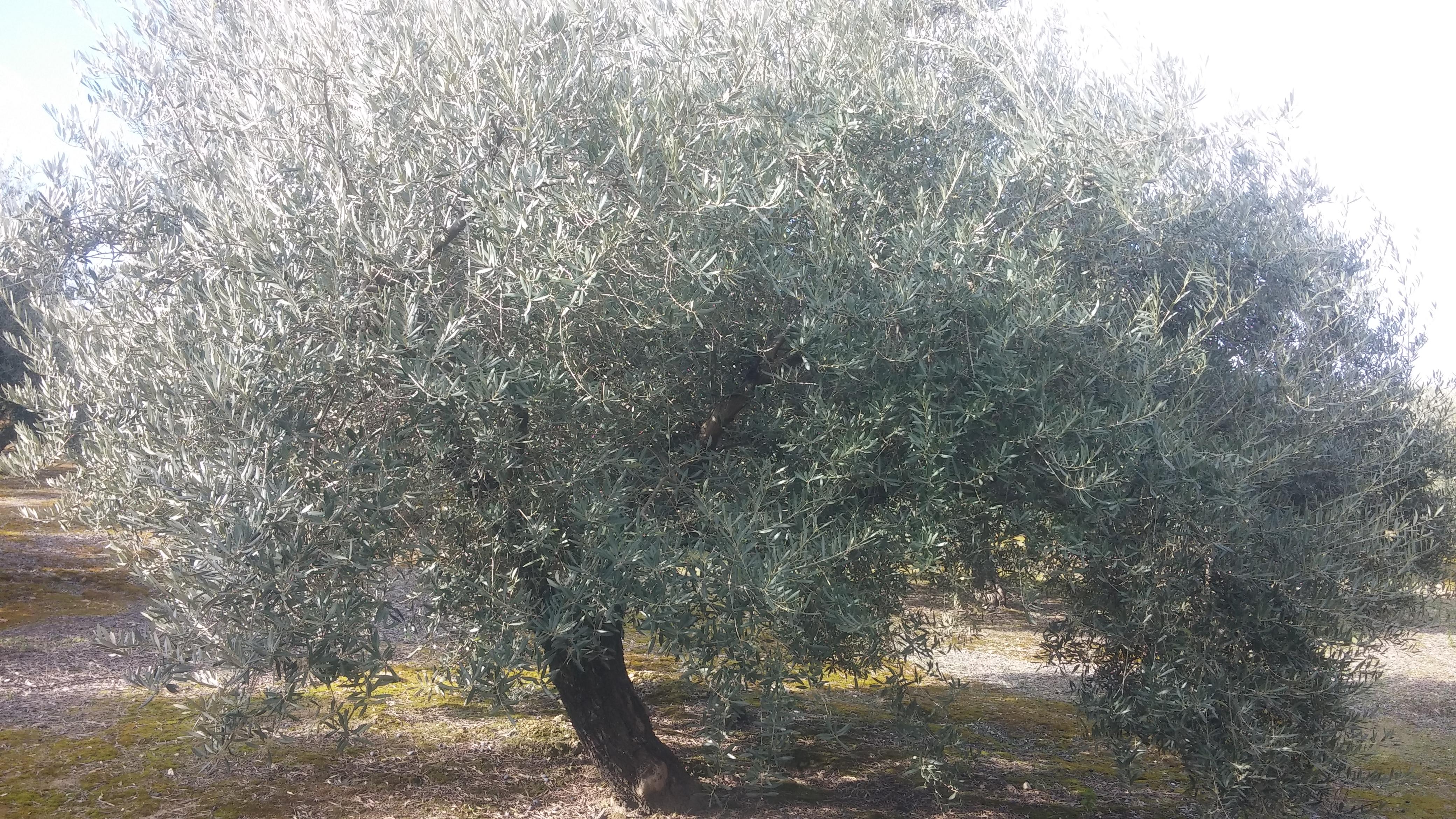Crees que el olivo se debe podar todos los años