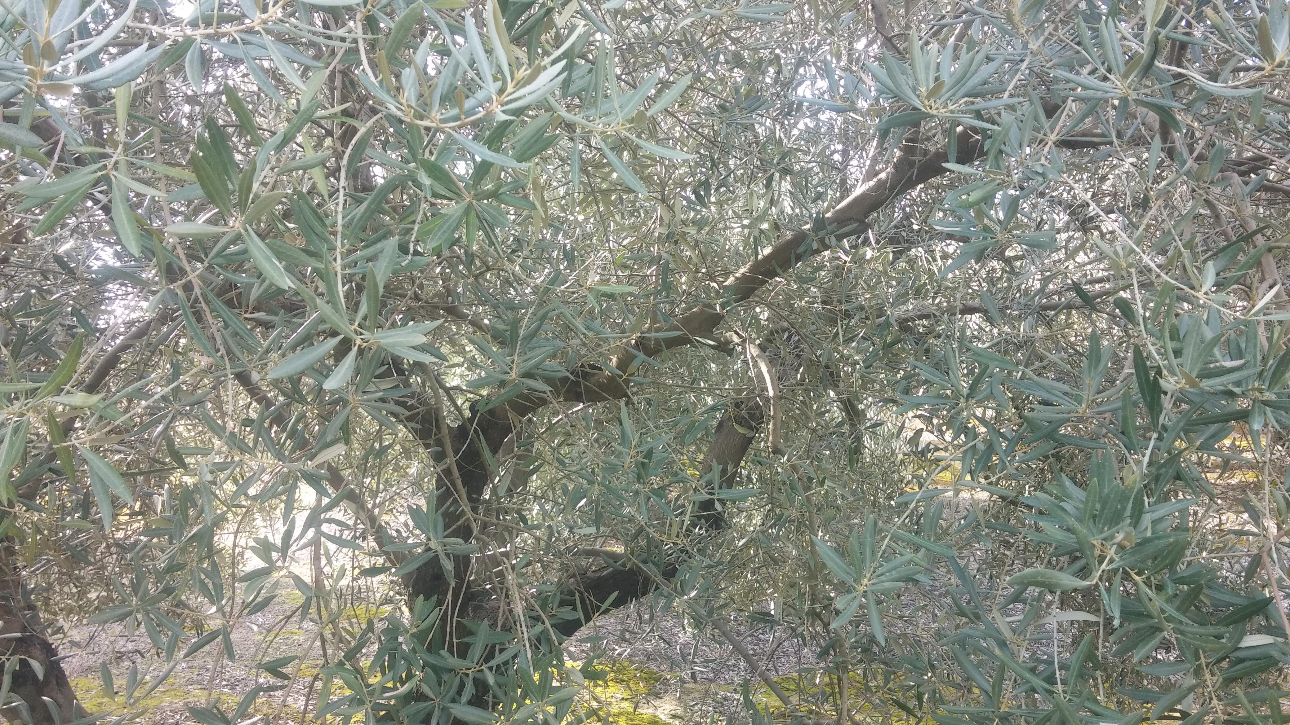 el año que el olivo no produce no se poda