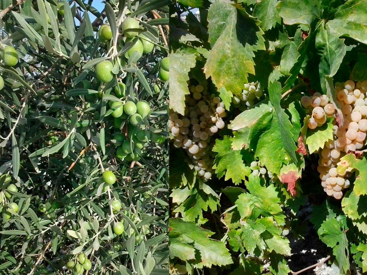 Cuando se debe abonar la viña y el olivar