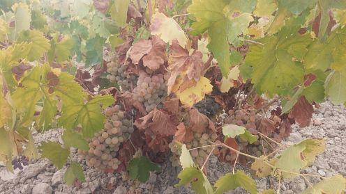 Por que se planta vidueno en esta zona de Montilla-moriles