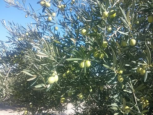 Que diferencias existen entre las variedades de olivo que se cultivan en Montilla-Moriles